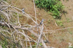 Ceryle rudis [PIED KINGFISHER] Chitwan National Park, Nepal 22.04.2018 Zoomology (3)