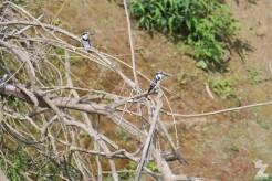 Ceryle rudis [PIED KINGFISHER] Chitwan National Park, Nepal 22.04.2018 Zoomology (3)