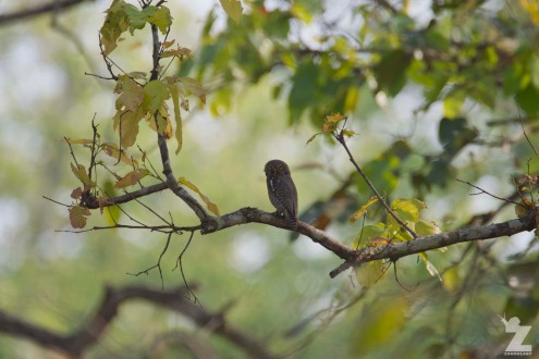 Glaucidium radiatum [BARRED-JUNGLE OWLET] Chitwan National Park, Neapl 24.04.2018 Zoomology (1)