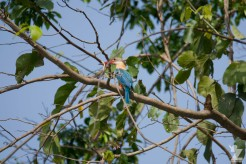 Pelargopsis capensis [STORK-BILLED KINGFISHER] Chitwan National Park, Nepal 22.04.2018 Zoomology (1)