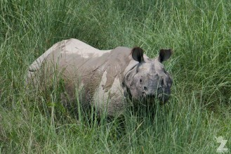 Rhinoceros unicornis [GREATER ONE-HORNED RHINO] Nepal, Chitwan National Park 22-4-2018 Zoomology (100)