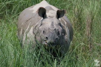 Rhinoceros unicornis [GREATER ONE-HORNED RHINO] Nepal, Chitwan National Park 22-4-2018 Zoomology (102)