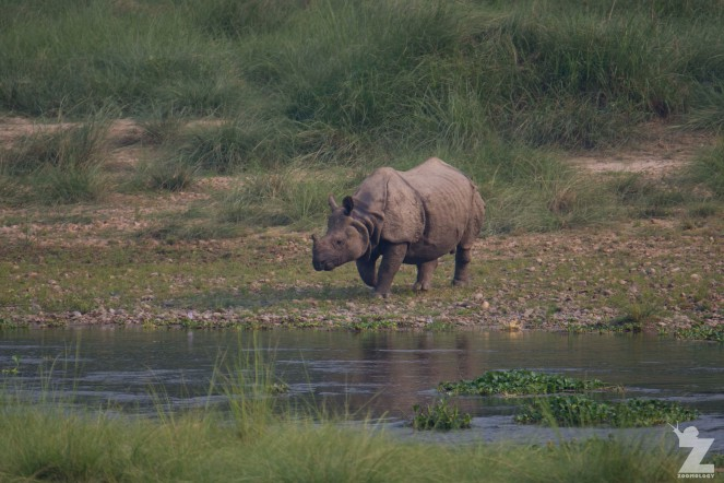 Rhinoceros unicornis [GREATER ONE-HORNED RHINO] Nepal, Chitwan National Park 22-4-2018 Zoomology (11)