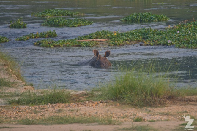 Rhinoceros unicornis [GREATER ONE-HORNED RHINO] Nepal, Chitwan National Park 22-4-2018 Zoomology (26)