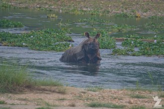 Rhinoceros unicornis [GREATER ONE-HORNED RHINO] Nepal, Chitwan National Park 22-4-2018 Zoomology (29)