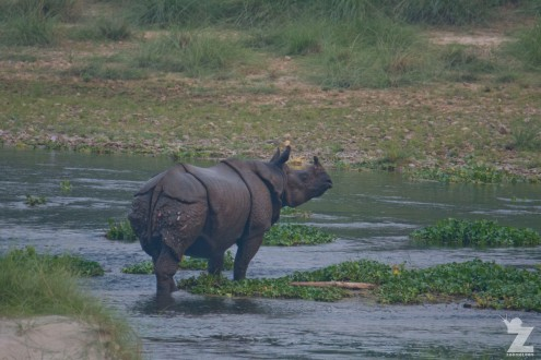 Rhinoceros unicornis [GREATER ONE-HORNED RHINO] Nepal, Chitwan National Park 22-4-2018 Zoomology (32)