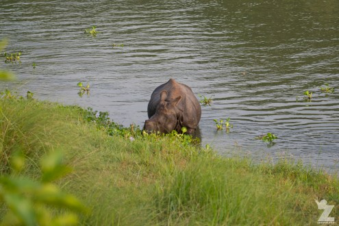 Rhinoceros unicornis [GREATER ONE-HORNED RHINO] Nepal, Chitwan National Park 22-4-2018 Zoomology (39)