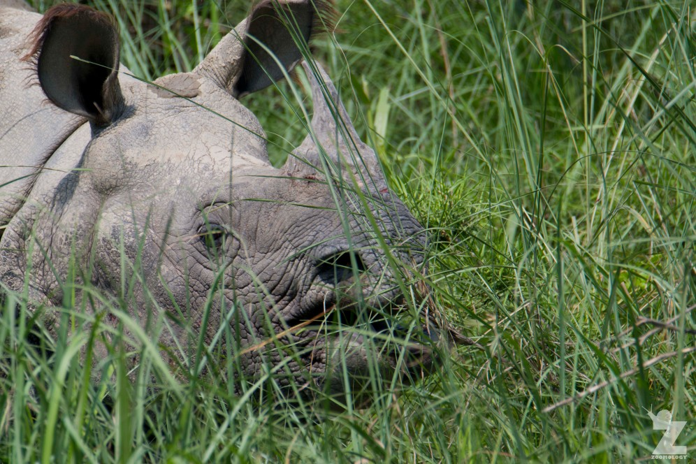 Rhinoceros unicornis [GREATER ONE-HORNED RHINO] Nepal, Chitwan National Park 22-4-2018 Zoomology (4)