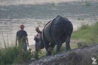 Rhinoceros unicornis [GREATER ONE-HORNED RHINO] Nepal, Chitwan National Park 22-4-2018 Zoomology (51)