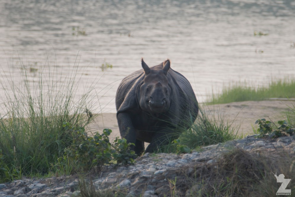 Rhinoceros unicornis [GREATER ONE-HORNED RHINO] Nepal, Chitwan National Park 22-4-2018 Zoomology (52)