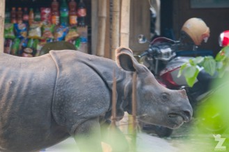 Rhinoceros unicornis [GREATER ONE-HORNED RHINO] Nepal, Chitwan National Park 22-4-2018 Zoomology (56)