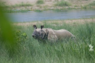 Rhinoceros unicornis [GREATER ONE-HORNED RHINO] Nepal, Chitwan National Park 22-4-2018 Zoomology (81)
