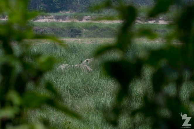 Rhinoceros unicornis [GREATER ONE-HORNED RHINO] Nepal, Chitwan National Park 22-4-2018 Zoomology (89)