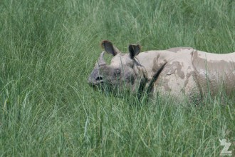 Rhinoceros unicornis [GREATER ONE-HORNED RHINO] Nepal, Chitwan National Park 22-4-2018 Zoomology (94)