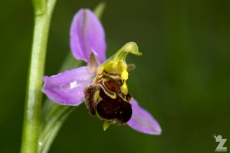Ophrys apifera [BEE ORCHID] Portbury Wharf Nature Reserve, England 31-05-2018 Zoomology (9)