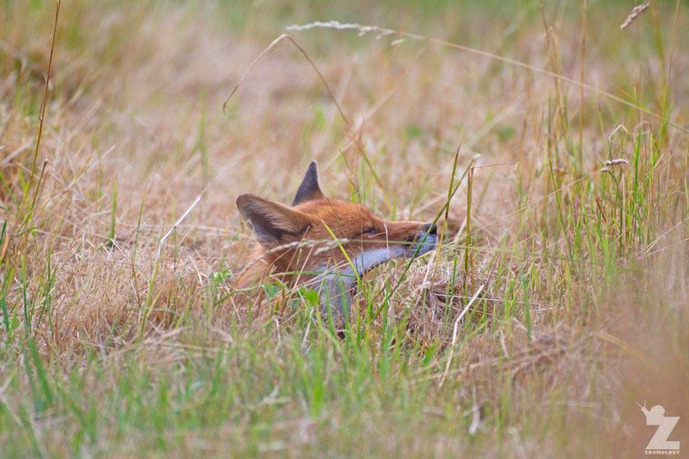 Vulpes vulpes [RED FOX] Kewstoke, England 11-07-2018 Zoomology (1)