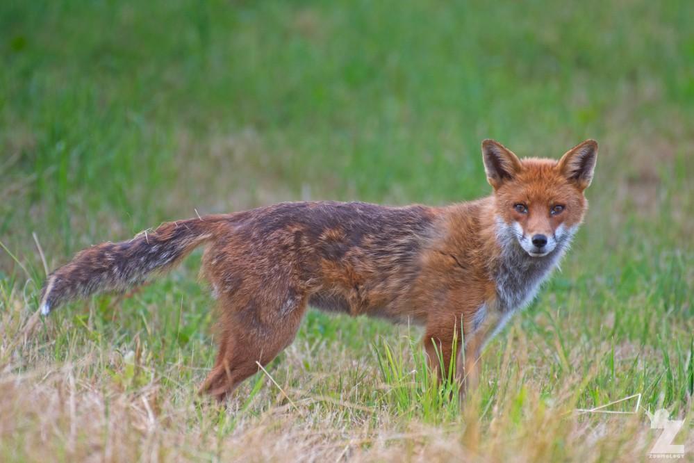 Vulpes vulpes [RED FOX] Kewstoke, England 11-07-2018 Zoomology (2).jpg