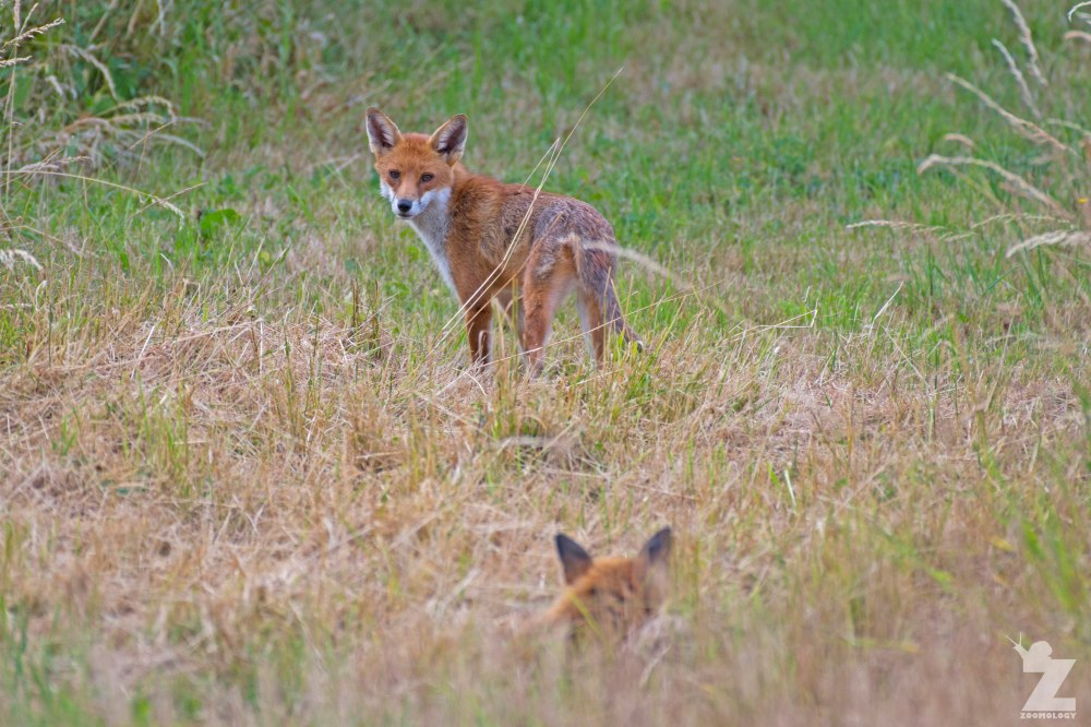 Vulpes vulpes [RED FOX] Kewstoke, England 11-07-2018 Zoomology (3).jpg