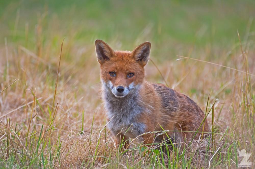 Vulpes vulpes [RED FOX] Kewstoke, England 11-07-2018 Zoomology