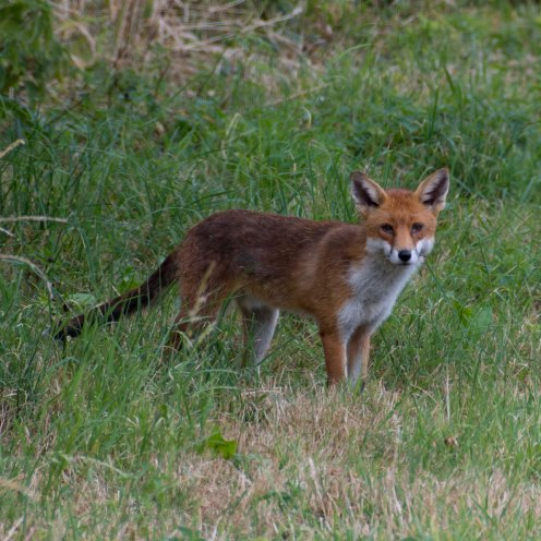 Vulpes vulpes [RED FOX] Kewstoke, England 28-07-2018 Zoomology (1)
