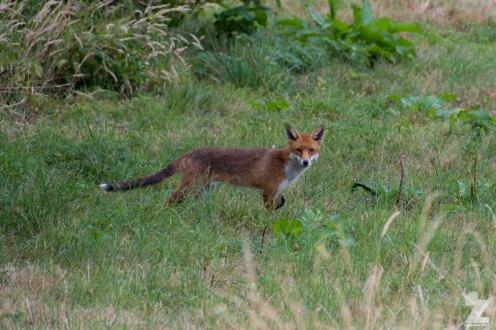 Vulpes vulpes [RED FOX] Kewstoke, England 28-07-2018 Zoomology (2)