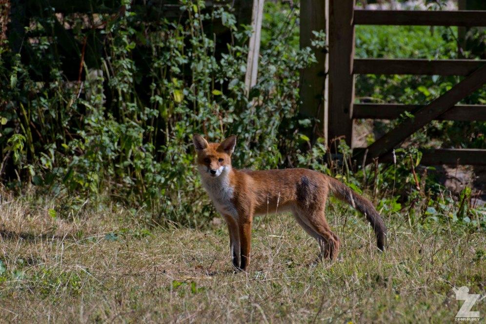 Vulpes vulpes [RED FOX] Kewstoke, England 28-07-2018 Zoomology (6)