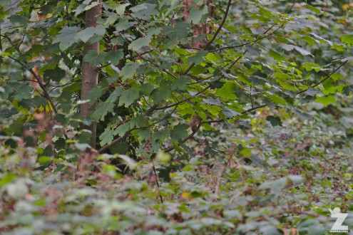 Muscardinus avellanarius [HAZEL DORMOUSE] Cleeve, England 16.09.2018 (10)