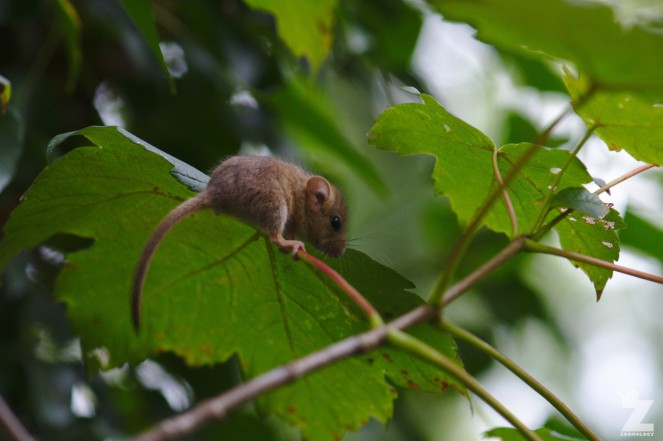 Muscardinus avellanarius [HAZEL DORMOUSE] Cleeve, England 16.09.2018 (14)