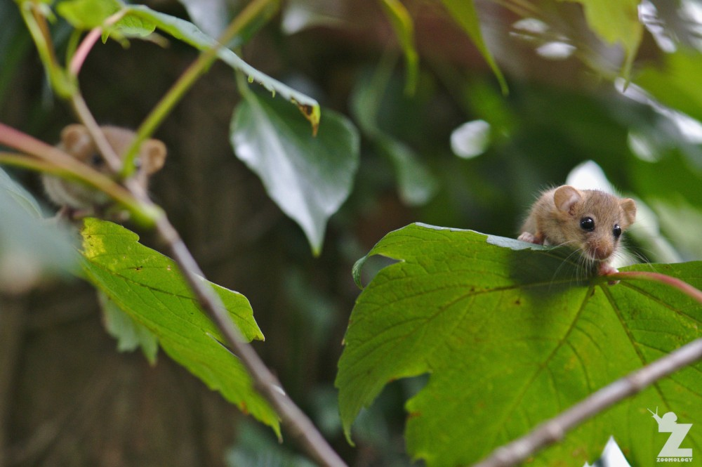Muscardinus avellanarius [HAZEL DORMOUSE] Cleeve, England 16.09.2018 (16)