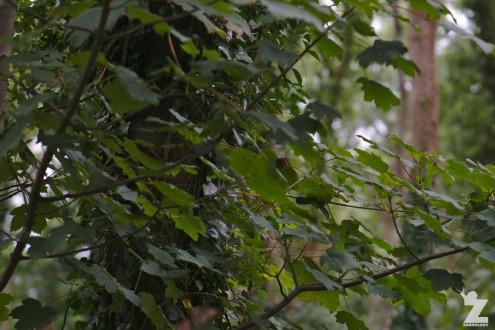 Muscardinus avellanarius [HAZEL DORMOUSE] Cleeve, England 16.09.2018 (8)